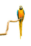 Macaw parrot on a twig Stock Images