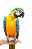 Macaw parrot  on white. Background Stock Photography