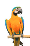 Macaw Parrot on white background Royalty Free Stock Images