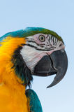 MACAW PARROT Royalty Free Stock Photo
