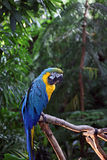 Macaw or parrot with yellow and blue feathers Royalty Free Stock Image