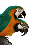 Macaw parrots 1. Two macaw parrots - close up stock photo