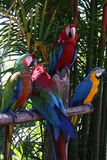 Macaw parrots. Colorful Macaw parrots pirching on branch Stock Photography