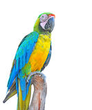 Macaw parrots Royalty Free Stock Images