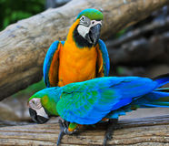 Macaw parrots Royalty Free Stock Photography