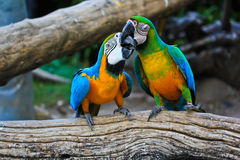 Macaw parrots Stock Images