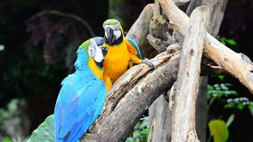 Macaw parrots. stock video footage