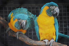 Macaw Parrots in a Cage. Two parrots yellow and green colored royalty free stock photography