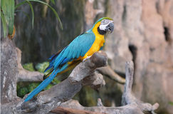 Macaw parrots. Royalty Free Stock Images