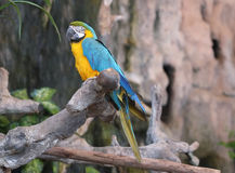 Macaw parrots. Stock Images