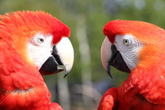Macaw Parrots. Colourful Parrots talking to each other Stock Image