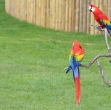 Macaw Parrots Stock Photography