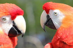 Macaw Parrots Royalty Free Stock Photos