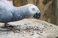 Macaw parrots eating seed on the wood Stock Photography