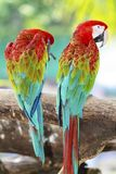 Macaw parrots in nature Royalty Free Stock Photography