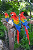 Macaw parrots. Macaw parros on the tree stock photo