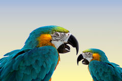 Macaw parrots-same. Two macaw parrots-same bird done in photoshop royalty free stock images
