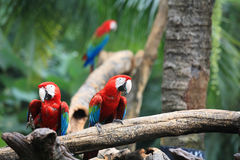 Macaw parrots on the tree Stock Images