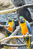 Macaw Parrots. Two Macaw Parrots at a zoo in Texas stock photography
