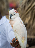 Macaw on perch of mans hand. stock images