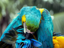 Macaw perched in the Jungle. Macaw grooms itself while keeping an eye on all Stock Photo