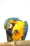 Macaw perched preening Royalty Free Stock Images