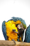 Macaw perched preening Stock Photo