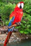 macaw perched scharlakansrött Arkivfoto