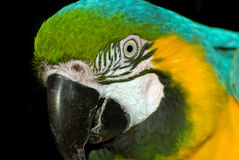 Macaw portrait Royalty Free Stock Photos
