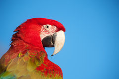 Macaw portrait. Stock Photos