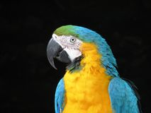 Macaw. Portrait of a blue and yellow macaw Stock Photos