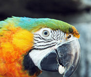 Macaw. Portrait of a colorful macaw parrot Royalty Free Stock Images