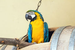 Macaw. Portrait of a colorful macaw parrot Royalty Free Stock Photography