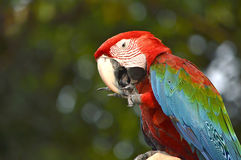 Macaw. Poultry is a family Psittacidae Macaw is a large bird family hookworm. Popular culture because the colors are beautiful, tame and could imitate people Stock Photo
