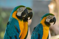 Macaw. Poultry is a family Psittacidae Macaw is a large bird family hookworm. Popular culture because the colors are beautiful, tame and could imitate people Royalty Free Stock Photography