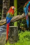 Macaw. Poultry is a family Psittacidae Macaw is a large bird family hookworm. Popular culture because the colors are beautiful, tame and could imitate people Stock Image
