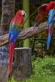 Macaw. Poultry is a family Psittacidae Macaw is a large bird family hookworm. Popular culture because the colors are beautiful, tame and could imitate people Stock Images