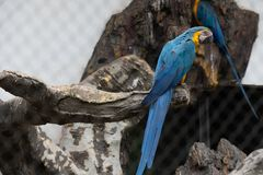 Macaw-Psittacidae. It is the most beautiful and showy parrot in tropical America and the largest parrot in the tropics. It is a large climbing bird. There are 6 stock photography