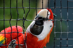 Macaw que explota Fotografía de archivo libre de regalías