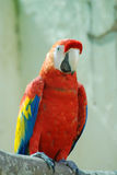 Macaw red parrot Stock Images