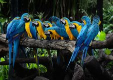 Macaw red and yellow or parrot beautiful on dry branch in the ga stock image