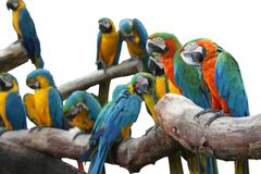 Macaw red and yellow or parrot beautiful on dry branch isolated stock images