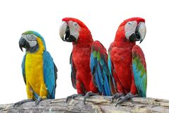 Macaw red and yellow or parrot beautiful on dry branch isolated stock photos
