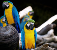 Macaw relaxing. Royalty Free Stock Photos