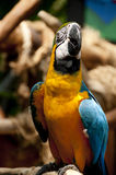 Macaw. A macaw is resting on branch Royalty Free Stock Photos
