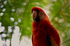 Macaw rojo Fotografía de archivo