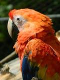 Macaw rojo (Ara Macao) Foto de archivo libre de regalías