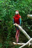 Macaw rojo del ara Imagenes de archivo