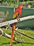Macaw rojo y amarillo en Lion Country Safari fotos de archivo
