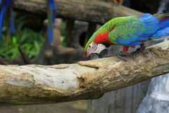 Macaw rojo y azul Fotografía de archivo